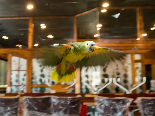 Dino the parrot takes flight at Mido's Coffee shop in Pensacola on Thursday, March 15, 2018.  Jimmie Toms found the stray parrot a couple of weeks ago and reunited Dino with his owner Kierstyn Hussin after tracking her down.