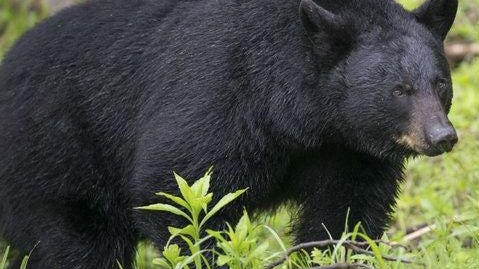 Bears were spotted Wednesday afternoon in Watchung and Be nardsville.