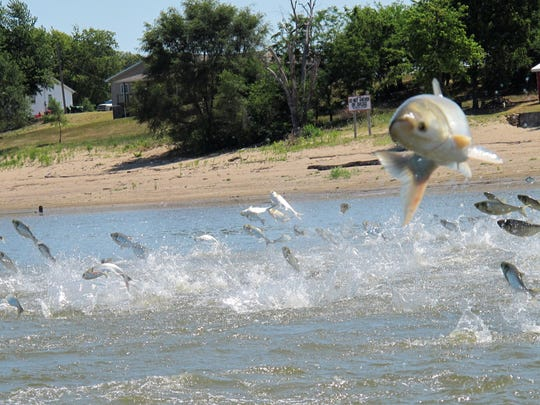 In this June 13, 2012, photo an Asian carp, jolted by an electric current from a research boat, jumps from the Illinois River near Havana, Ill., during a study on the fish's population.