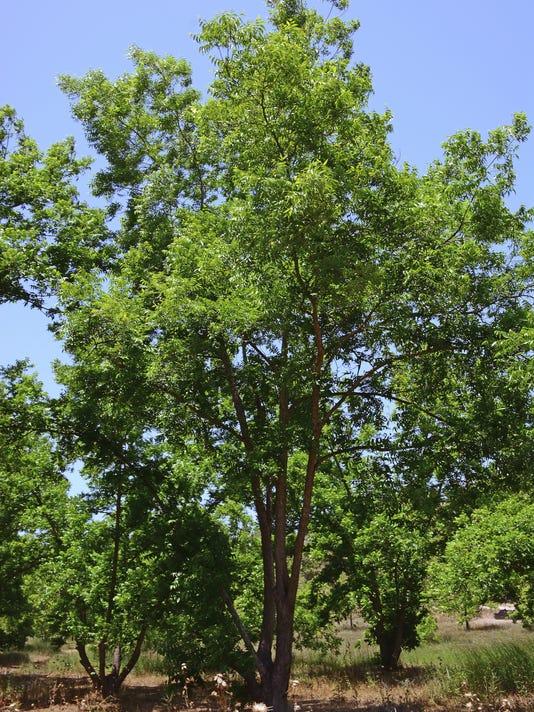 Yard & Garden Pecan tree