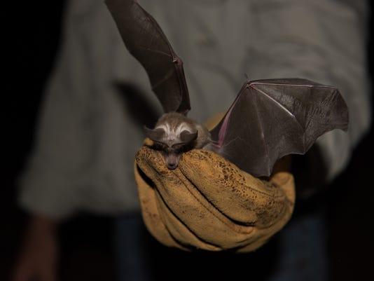 Arizona Bat Wings