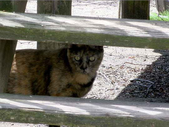 One of the stray cats that wander through the Angle Inn mobile home park in Farmingdale.