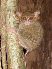 One of the new species of tarsius (Tarsius spectrumgurskyae)