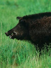 The wild hog population in Mississippi is growing, making the chances of seeing one even greater.