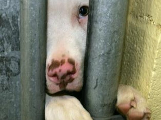 A pit bull peers out from the opening of a door jam to its pen in a Denver animal shelter in this file photograph taken in 2005. A Cincinnati pit bull was accused of biting a woman, resulting in a years-long court dispute that will be heard before the Ohio Supreme Court next week.
