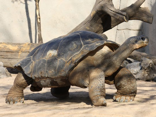 Elvis, a 65-year-old Galapagos tortoise, will join