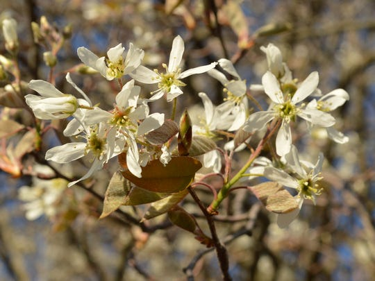 The serviceberry is cheerful in spring.