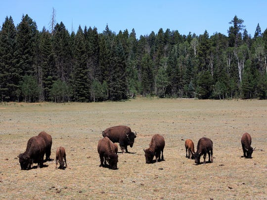 Bison graze in the meadows surrounding the entrance