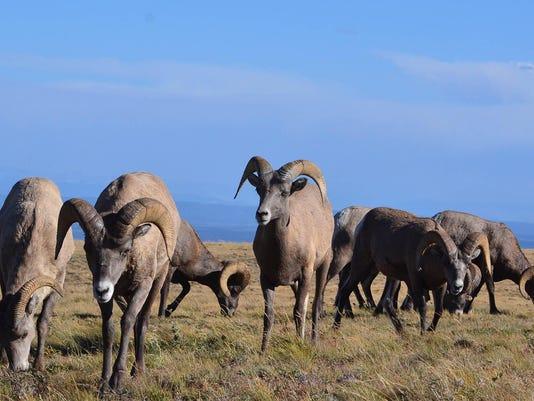 -Bighorn sheep 3.jpg_20140603.jpg