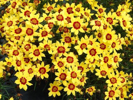 -Coreopsis 'Gold Nugget' - Image 1.jpg_20080622.jpg