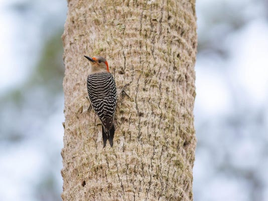Red-bellied Woodpecker. Photo by Melissa McMasters
