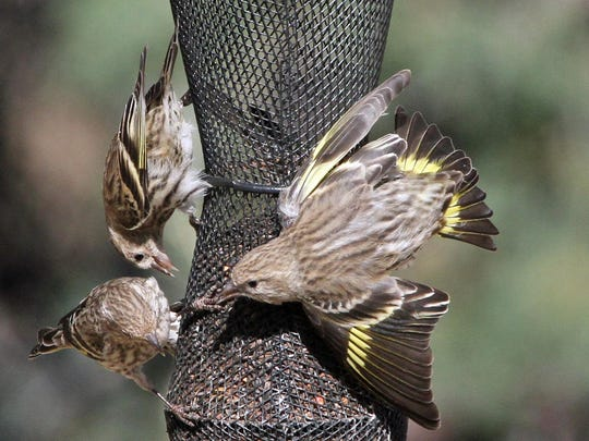 Late pine siskins have been spotted in Milan.
