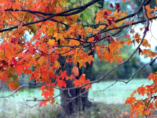 Red maples in Rockcastle County.