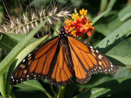 monarch on Asclepias curassavica-1.jpg