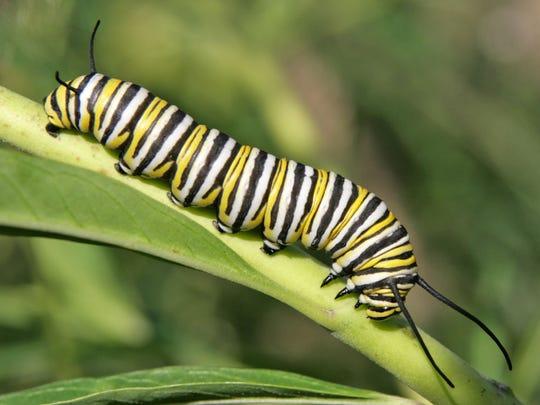 monarch larva1.jpg