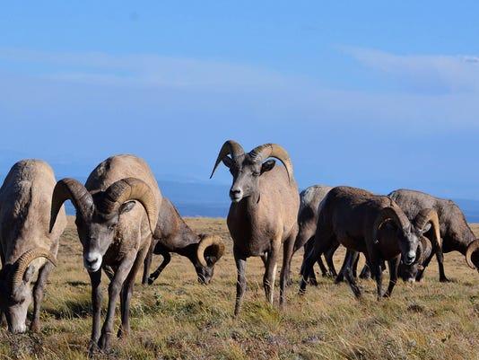 w12-09-Bighorn Sheep.jpg