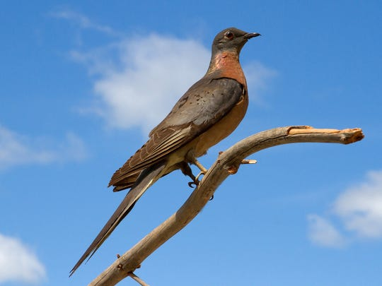 The Sheboygan County Historical Research Center's April 13 Second Saturdays program will focus on three species of birds, including the passenger pigeon.