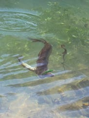 A big chain pickerel refused to let go of the smaller