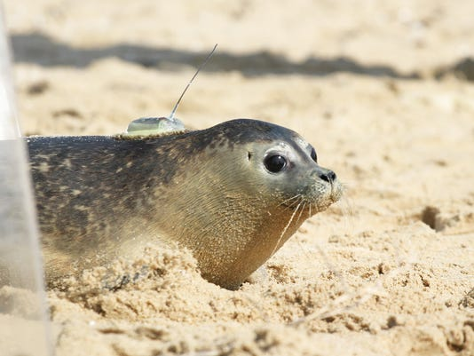 636211107279830295-SBYBrd-10-28-2015-DailyTimes-1-A009-2015-10-27-IMG-sby-seal-released-1-1-HFCCIJEP-L700028233-IMG-sby-seal-released-1-1-HFCCIJEP.jpg