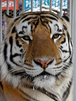 LSU Tigers mascot Mike VI sits in his cage prior to kickoff of a 2011 game against the Auburn Tigers at Tiger Stadium in Baton Rouge.