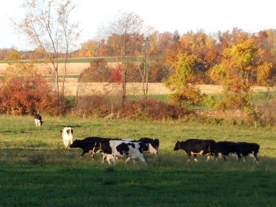 Cows on Jim Goodman's organic dairy farm head to pasture.