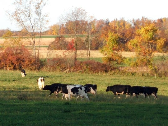 Cows on Jim Goodman's organic dairy farm head to pasture. Goodman says one way to help solve the organic dairy crisis is to enforce organic rules and make sure all producers pasture their cows.