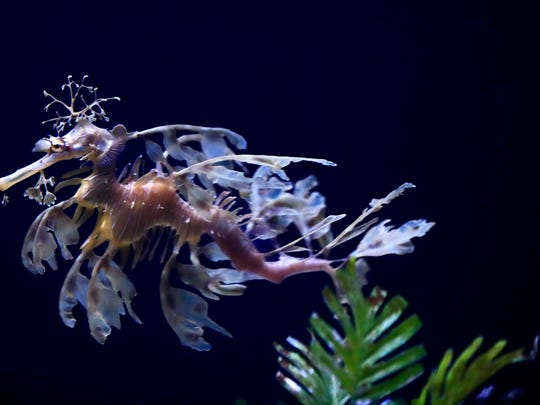 A sea dragon swims at the Birch Aquarium at the Scripps Institution of Oceanography at the University of California San Diego. The surreal creatures are only found in the wild off the coast of Australia, where they're threatened, but this Southern California aquarium is working to raise awareness.