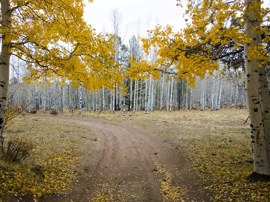 An aspen grove with a few trees with fall colors remaining off of Forest Road 151 (Hart Prairie Road) in Flagstaff on Thursday, October 22, 2009.