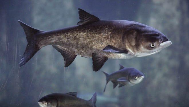 Asian bighead carp swim in an exhibit at Chicago's Shedd Aquarium.