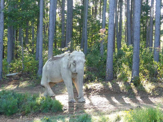 Shirley, an Asian elephant who lives in Hohenwald at