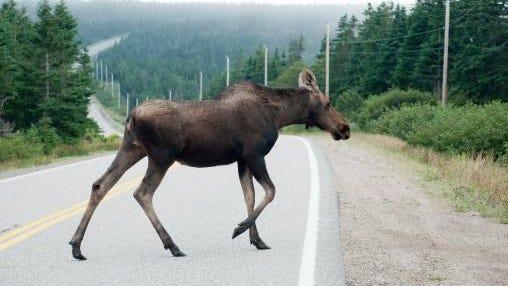 A moose crosses a road.