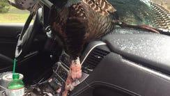 The wild turkey.
