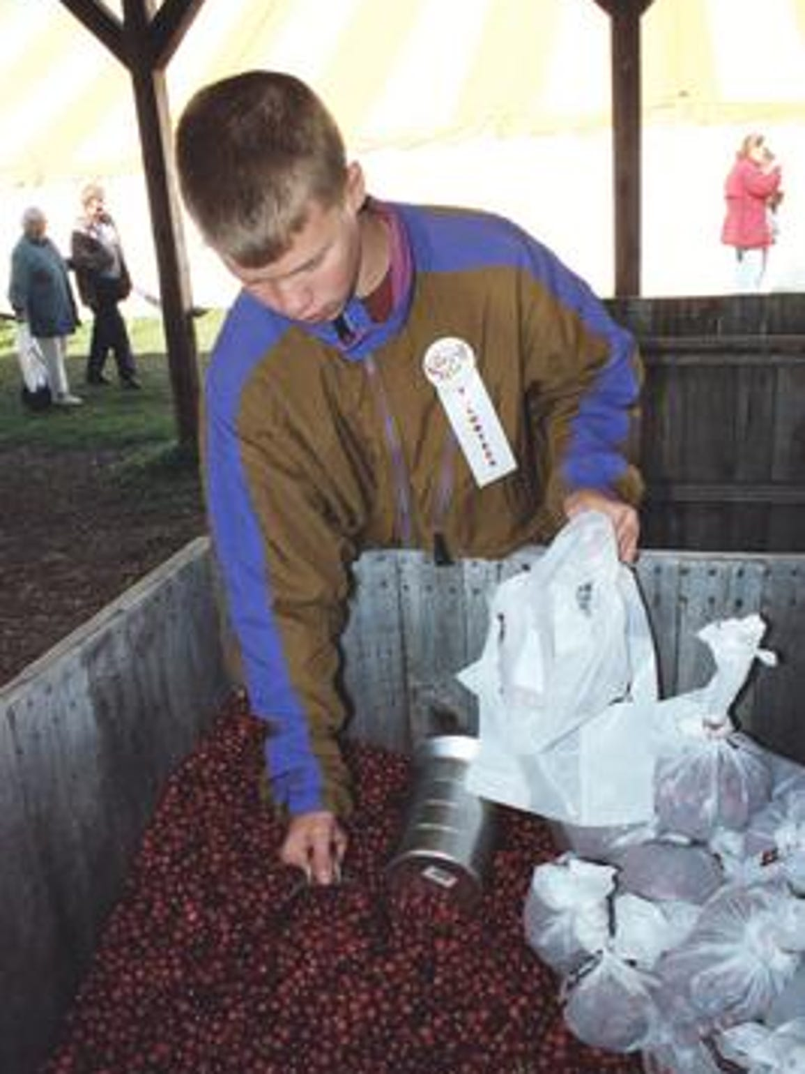 A boy scoops cranberries from a crate during Cranberry