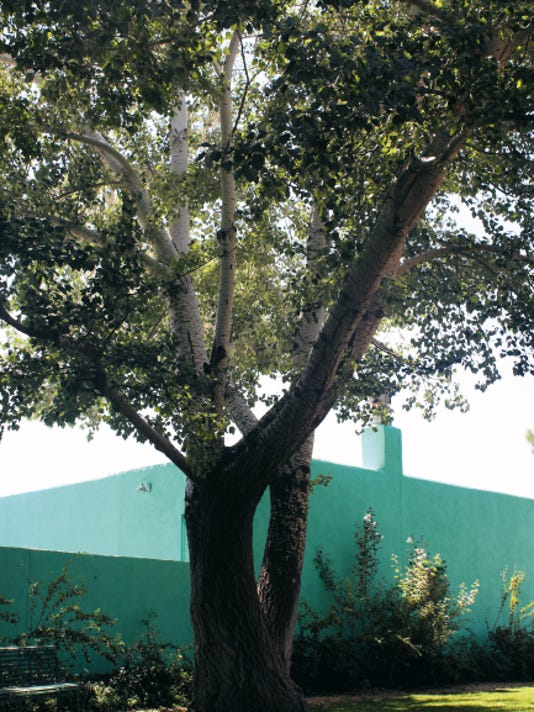 The Silver Poplar tree at the Silver City Museum will remain on the property, according to a news release issued on Wednesday. Courtesy Photo