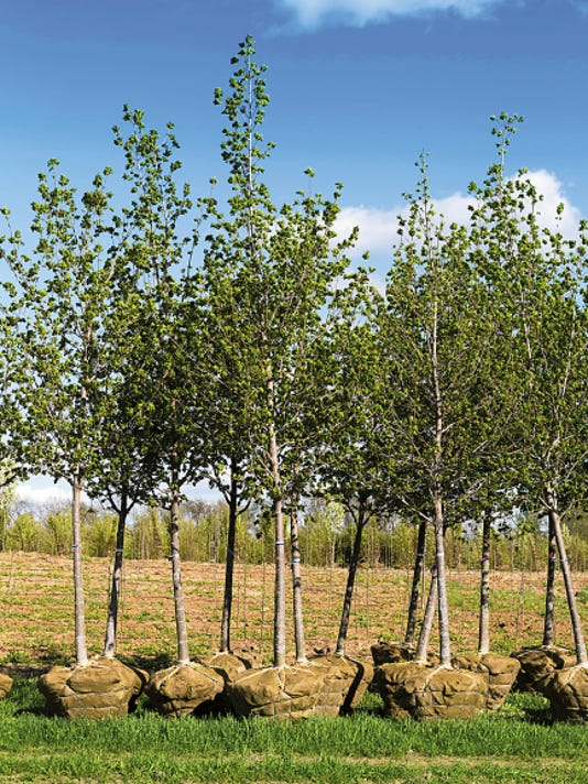 Planting trees in the late summer allows gardeners to take advantage of our summer monsoon rains. That, of course, assumes we will have the rain. Even if the rains are insufficient container grown trees from a nursery can be planted if they are properly planted and irrigated.