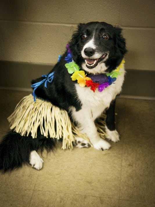Amana, dressed in her luau best, takes a relaxing break in the office of the Humane Society of Lebanon County's shelter. Her owner, Carman Pringle, was nearby. Amana came dressed for the Bow Wow Meow Luau that was held at the shelter in Jackson Township on Saturday. The event was held to spotlight shelter animals with special adoption fees on Saturday and Sunday.