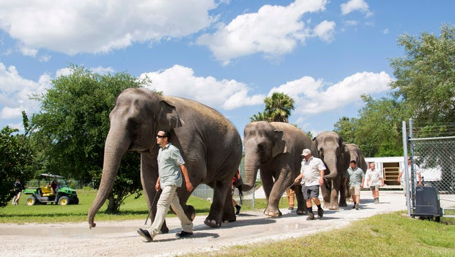 In this Thursday photo provided by Feld Entertainment, handlers escort three of the Ringling Bros. and Barnum & Bailey Circus Asian elephants as they arrive at their new home in Polk City, Fla. The elephants will join the rest of the retired herd at the Ringling Bros. Center for Elephant Conservation. (Feld Entertainment via AP)