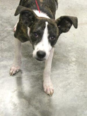 Shasta, an 8-month-old, medium mixed breed dog is available at the Licking County Humane society.