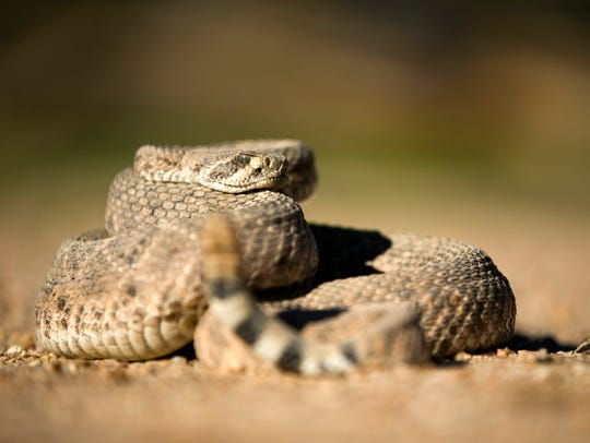 A western diamondback rattlesnake at Partners Dog Training