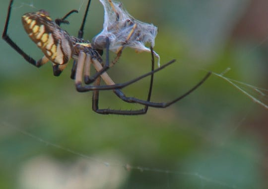 A spider grabs lunch in a giant web in Rowlett.