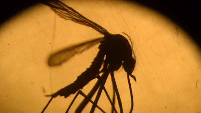 An Aedes aegypti mosquito is photographed in a laboratory at the University of El Salvador. Health authorities continue their efforts to eliminate the mosquito, vector of the Zika virus.