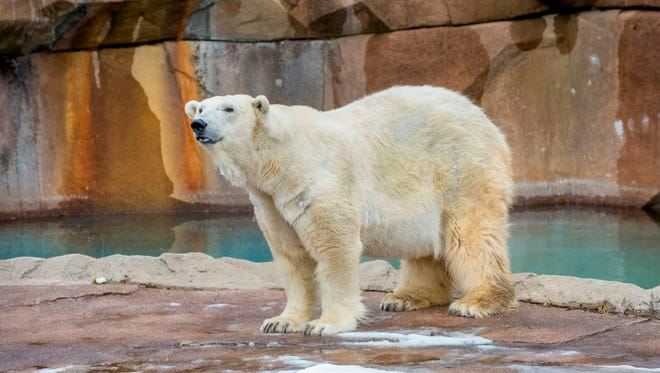 "Snow Lilly, the Milwaukee County Zoo's polar bear, will be this year's ""groundhog."""