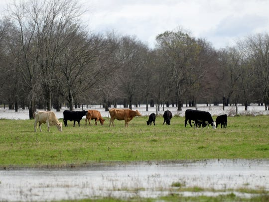 Livestock stand together on the dry land in a flooded