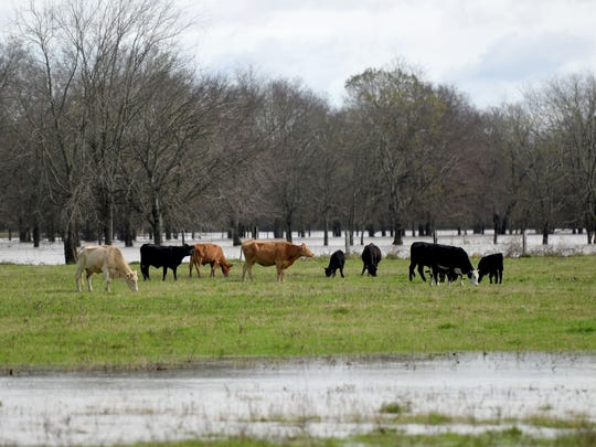 Livestock stand together on the dry land in a flooded part of Sligo Road in Bossier City.