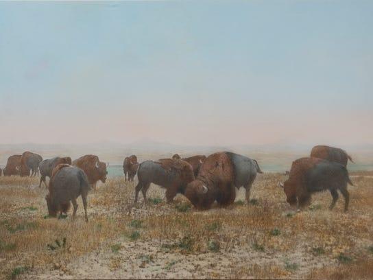 Buffalo Grazing the Big Open.jpg