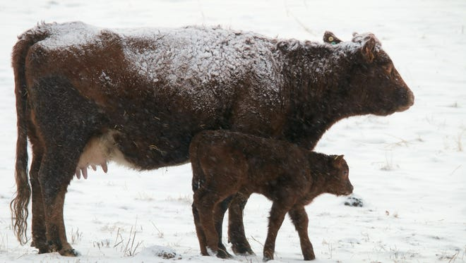 A mother cow and her new calf pause on a walk through the snow east of Cremona, Alberta, in February 2015. More than 22,000 Canadian cattle are now quarantined following an outbreak of bovine tuberculosis.