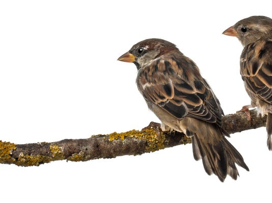 Male and Female House Sparrows, Passer domesticus, 4 months old