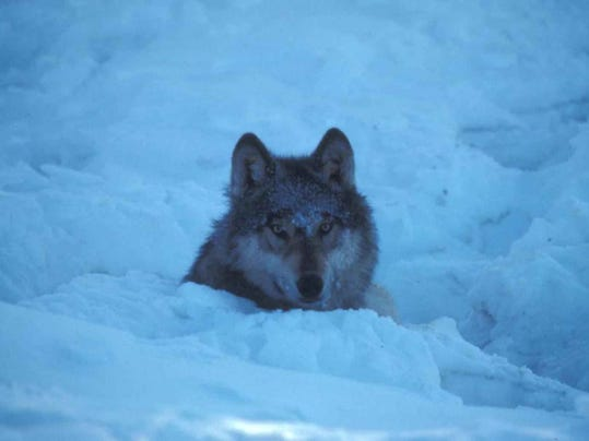 SAL Minnesota wolf