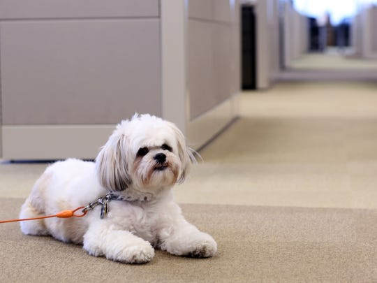 An employee's dog hangs out at the Mars Petcare headquarters