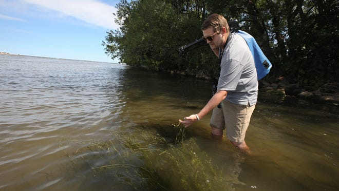 Greg Lawrence, a research scientist with the Department of Environmental Science and Ecology at SUNY Brockport, checks on some eel grass Wednesday as he heads out to a small barrier island to count migrating shore birds on the Braddock Bay East spit as part of the monitoring of a habitat restoration project at Braddock Bay.